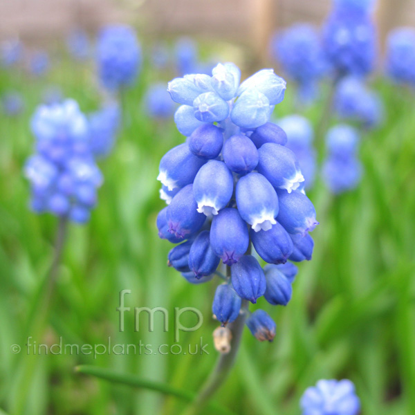 Big Photo of Muscari , Flower Close-up