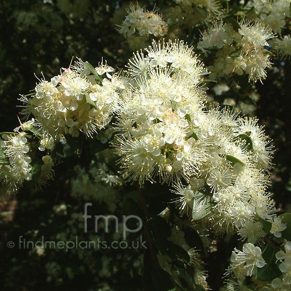 Big Photo of Myrtus Lechleriana