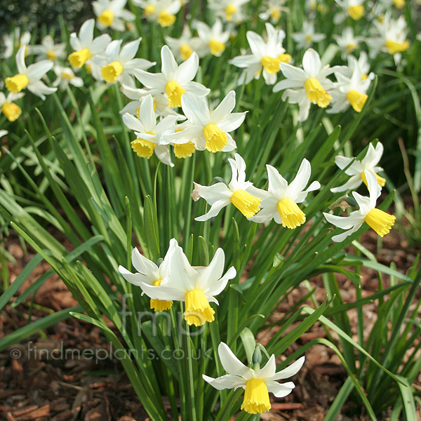 Big Photo of Narcissus
