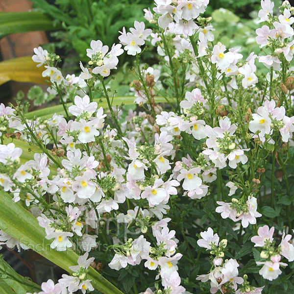Big Photo of Nemesia Wisley Vanilla