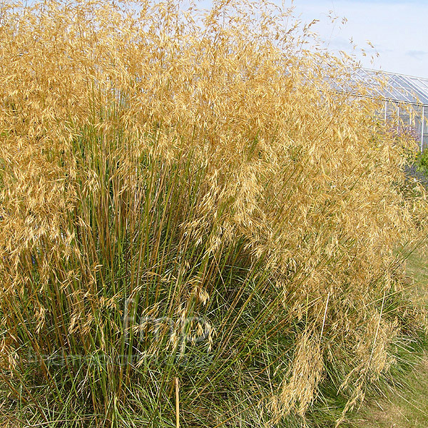 Big Photo of Stipa Gigantea