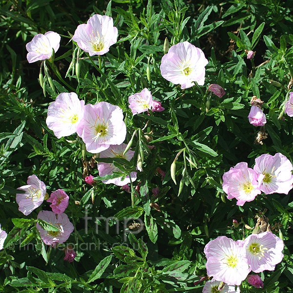 Big Photo of Oenothera Speciosa