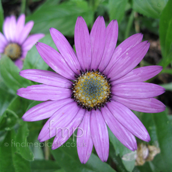 Big Photo of Osteospermum Jucundum