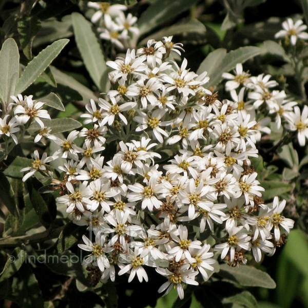 Big Photo of Olearia X Mollis, Flower Close-up