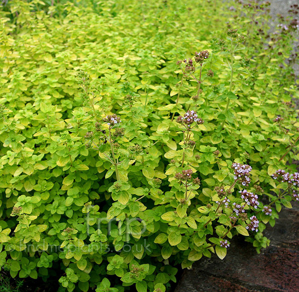 Big Photo of Origanum Vulgare