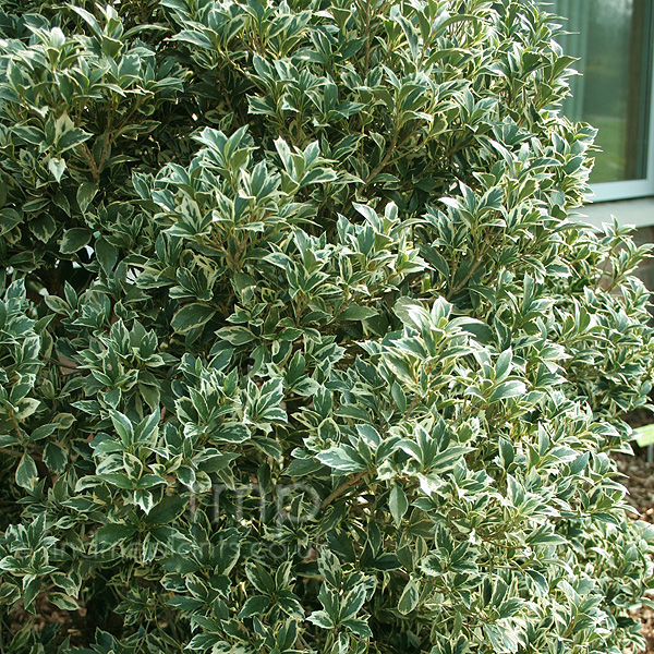 Big Photo of Osmanthus Heterophyllus