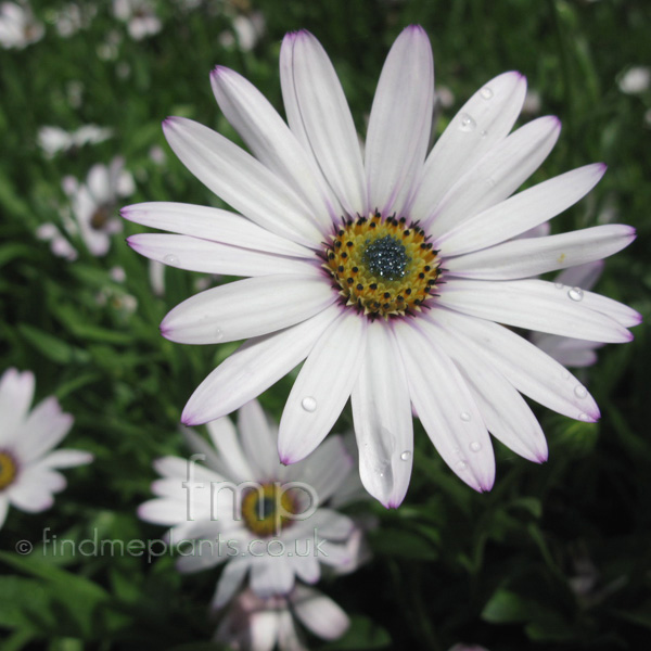 Big Photo of Osteospermum , Flower Close-up