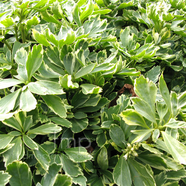 pachysandra terminalis 39 variegata 39 variegated pachysandra information pictures. Black Bedroom Furniture Sets. Home Design Ideas