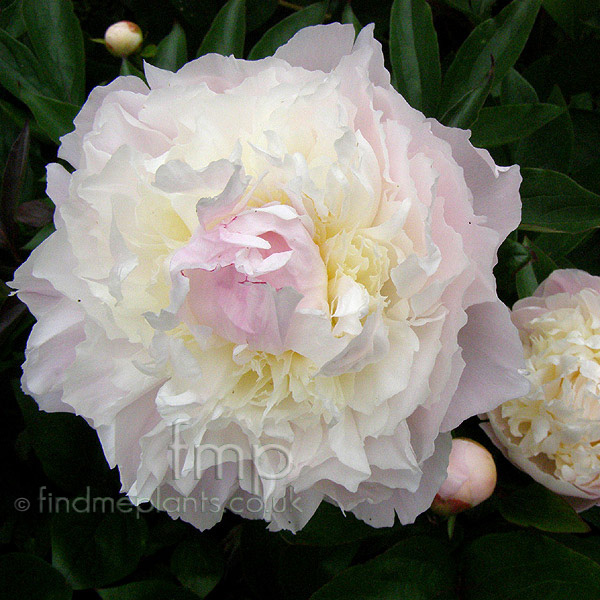Big Photo of Paeonia Lactiflora