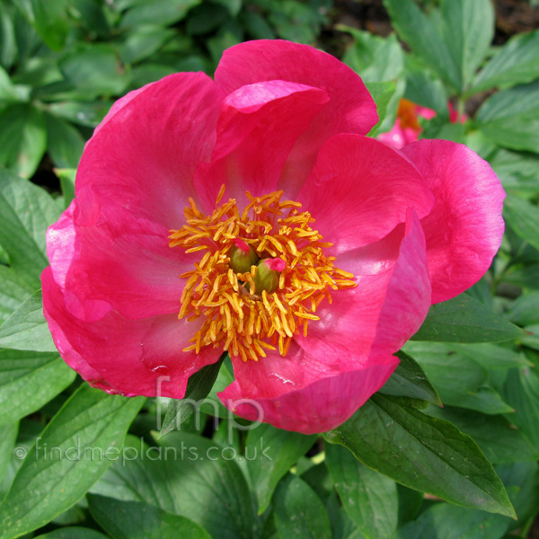 Big Photo of Paeonia , Flower Close-up