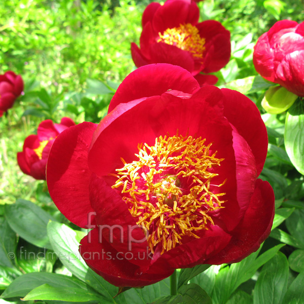 Big Photo of Paeonia