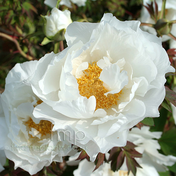 Big Photo of Paeonia Hak Uo-Jishi