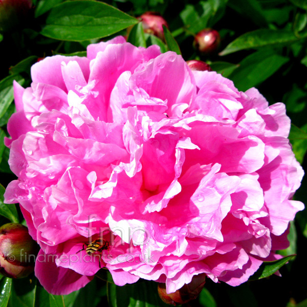 Big Photo of Paeonia Lactiflora, Flower Close-up