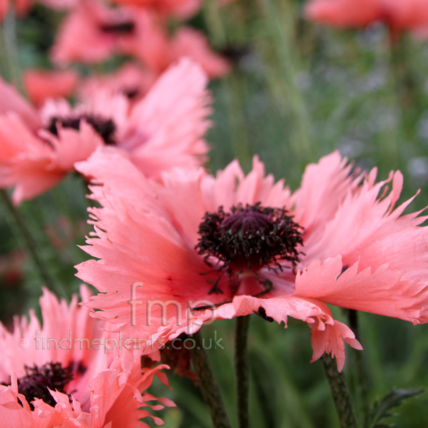 Big Photo of Papaver Orientalis, Flower Close-up