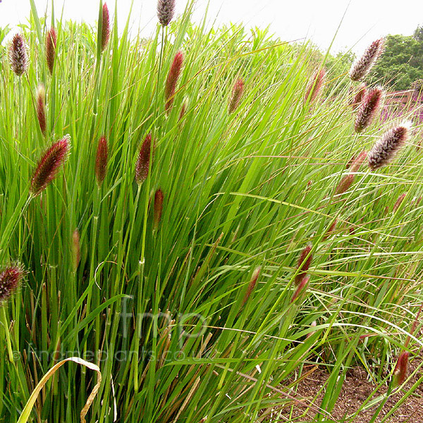 Red ornamental fountain grass foto bugil bokep 2017 for Red perennial grass