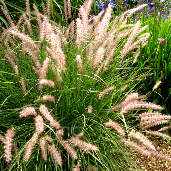 Big Photo of Pennisetum Orientale
