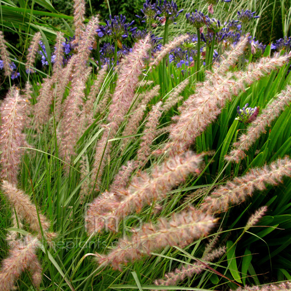 Big Photo of Pennisetum Orientale, Flower Close-up