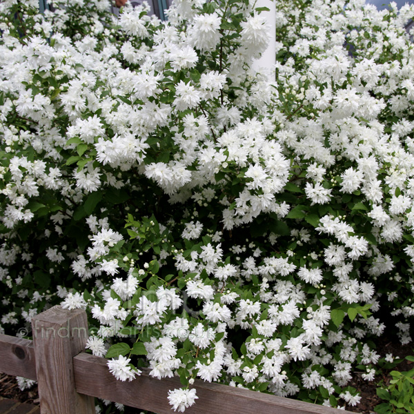 Big Photo of Philadelphus