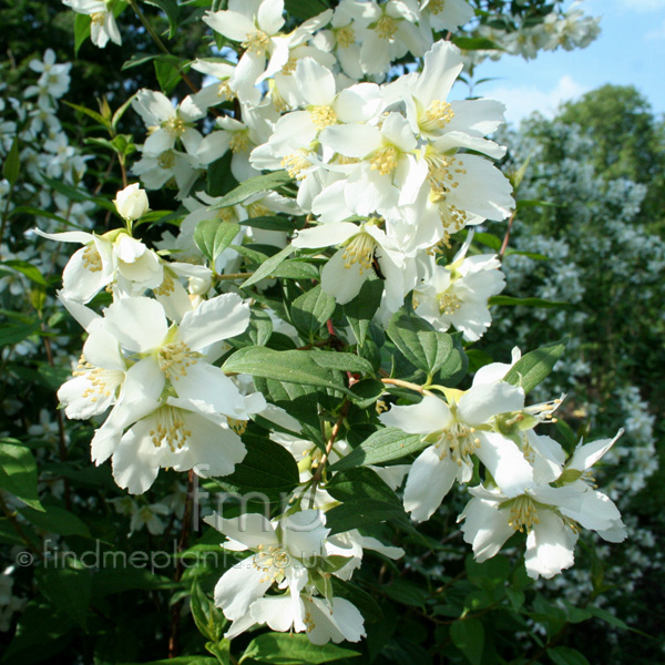 Big Photo of Philadelphus , Flower Close-up