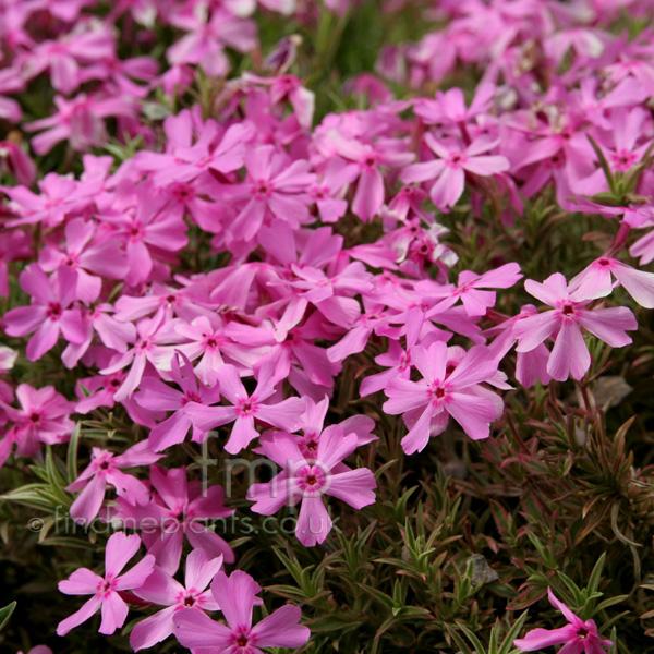 Big Photo of Phlox Subulata, Flower Close-up