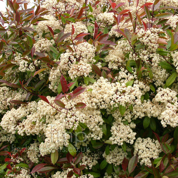 Big Photo of Photinia X Fraseri, Flower Close-up
