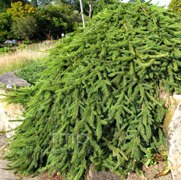 Big Photo of Picea Abies