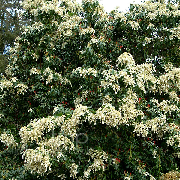 Big Photo of Pieris Japonica