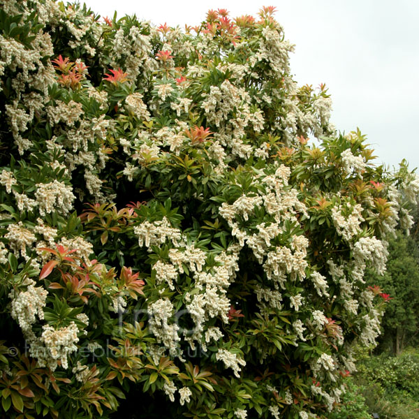 Big Photo of Pieris Formosa