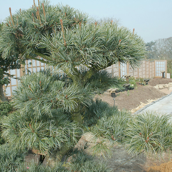 Big Photo of Pinus Parviflora