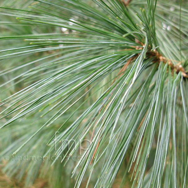 Big Photo of Pinus Wallichiana, Leaf Close-up