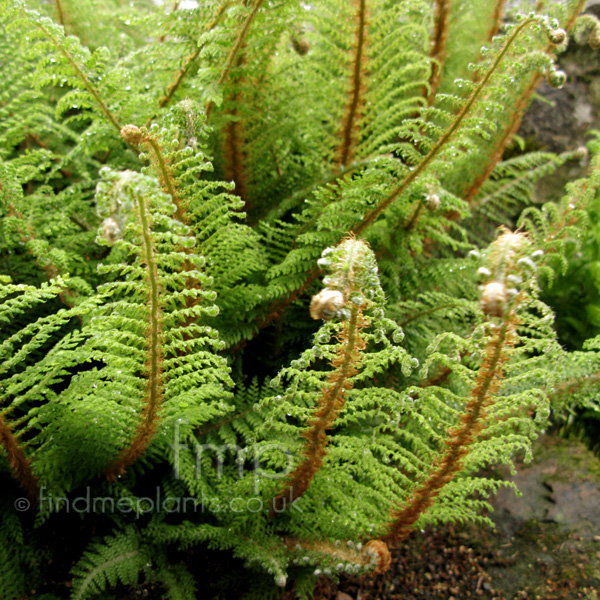 Big Photo of Polystichum Setferum, Leaf Close-up