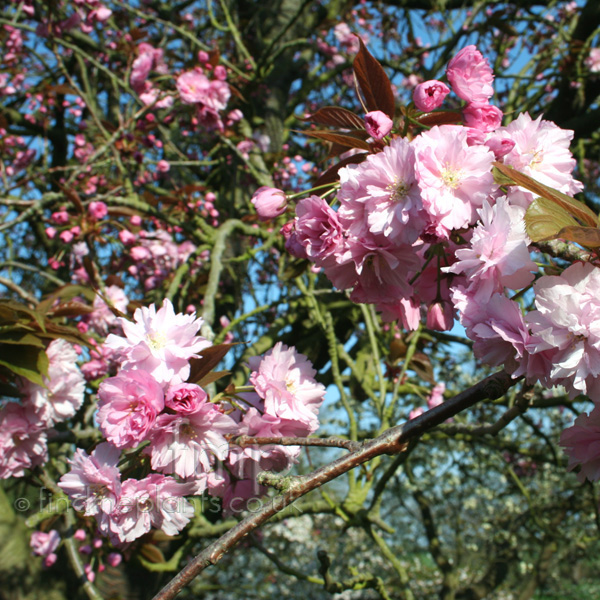 Big Photo of Prunus Serrulata, Flower Close-up