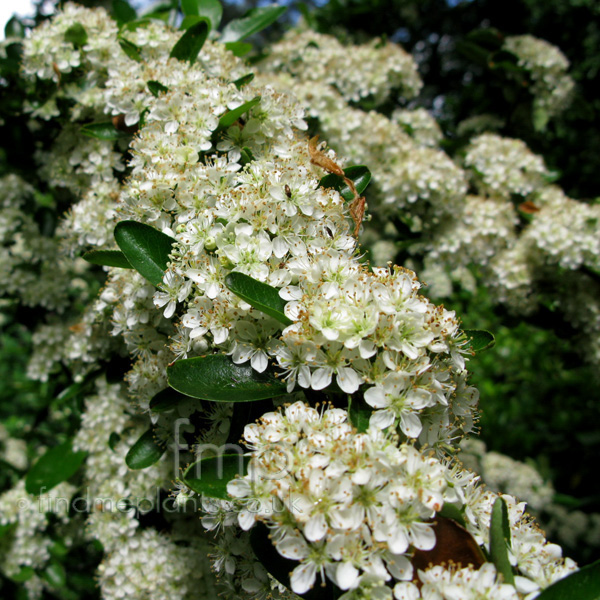 Big Photo of Pyracantha Saphyr