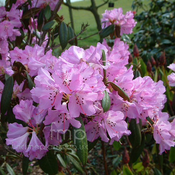 Rhododendron Rubiginosum Information Pictures Cultivation Tips