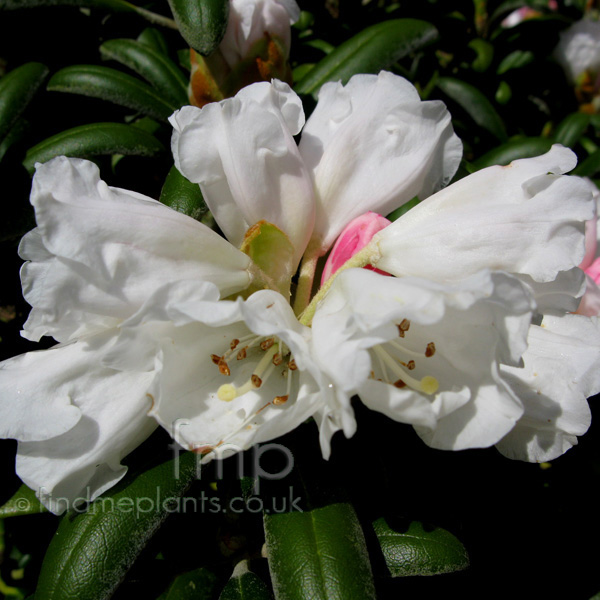 Rhododendron yakushimanum 39 schneekissen 39 information for How to care for rhododendrons after blooming