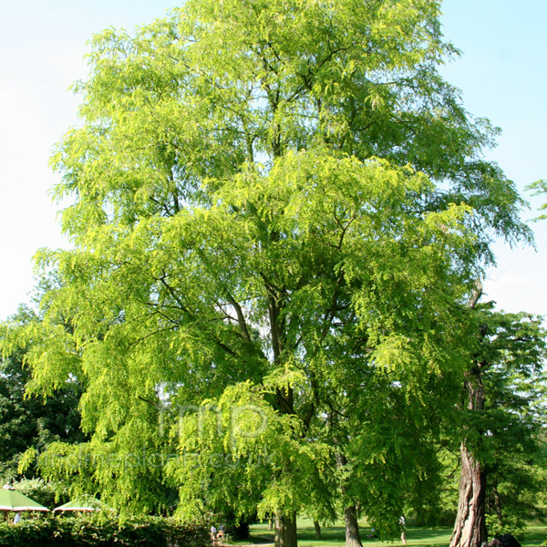 Big Photo of Robinia Pseudo-Acacia