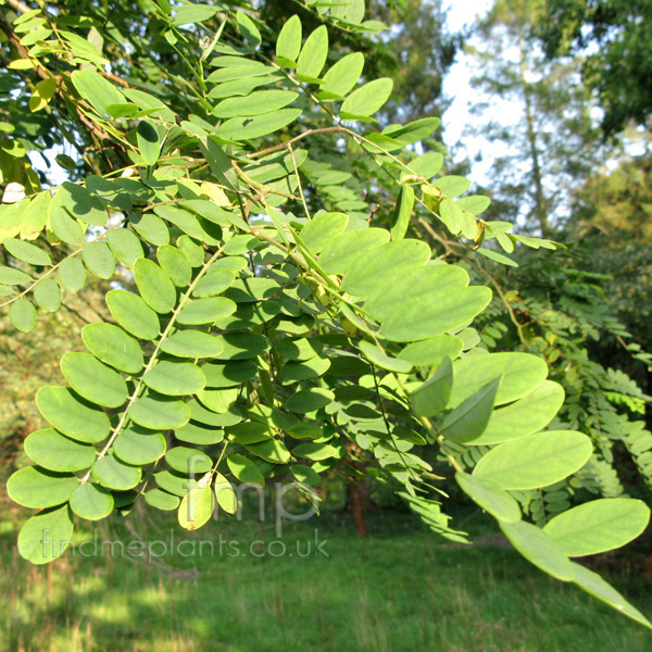 Big Photo of Robinia Ciscosa, Leaf Close-up
