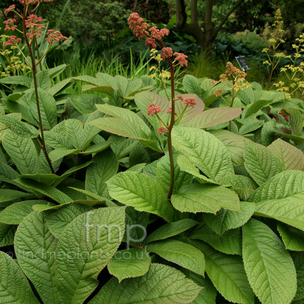Big Photo of Rodgersia Pinnata