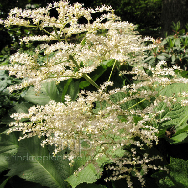 Big Photo of Rodgersia Podophylla, Flower Close-up
