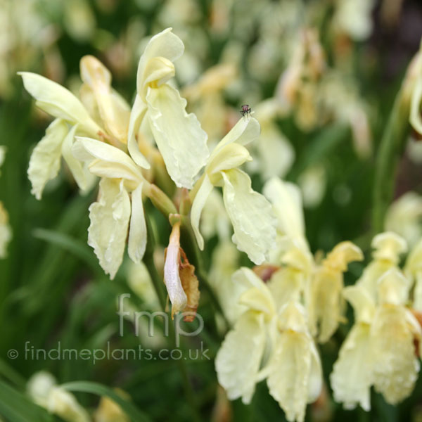 Big Photo of Roscoea Cautleyoides, Flower Close-up