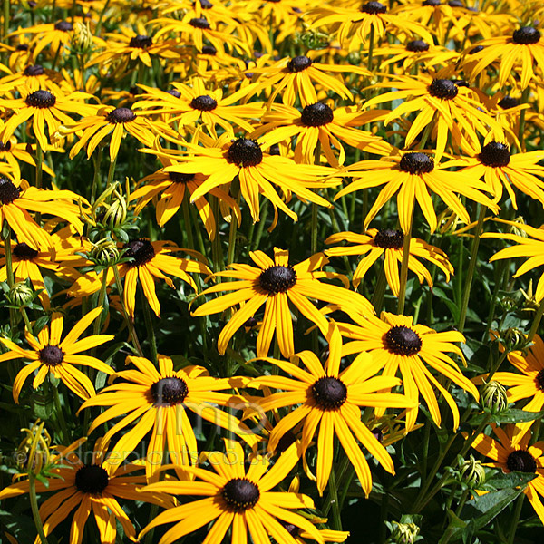 Big Photo of Rudbeckia Fulgida