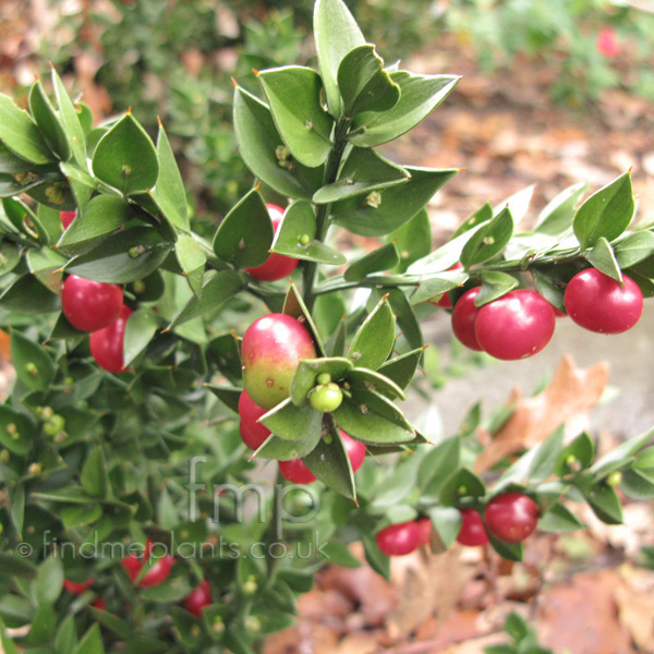 Big Photo of Ruscus Aculeatus