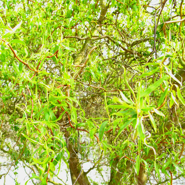 Big Photo of Salix Babylonica
