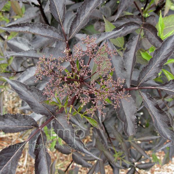 sambucus nigra 39 black beauty 39 purple elder. Black Bedroom Furniture Sets. Home Design Ideas