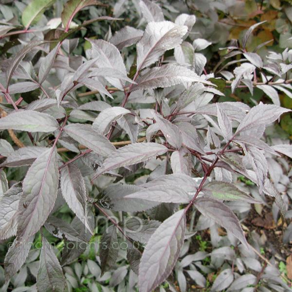 a big photo of sambucus nigra leaf close up from findmeplants. Black Bedroom Furniture Sets. Home Design Ideas