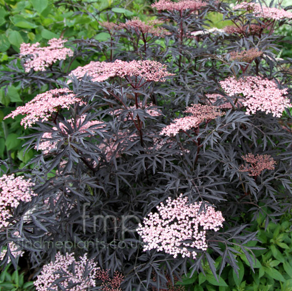 a big photo of sambucus nigra from findmeplants. Black Bedroom Furniture Sets. Home Design Ideas