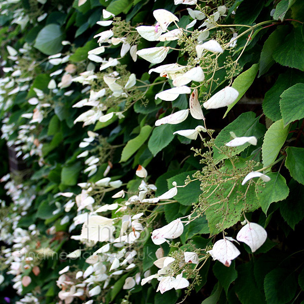 Big Photo of Schizophragma Hyrangeoides