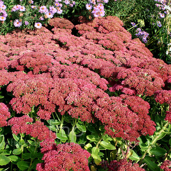 Big Photo of Sedum