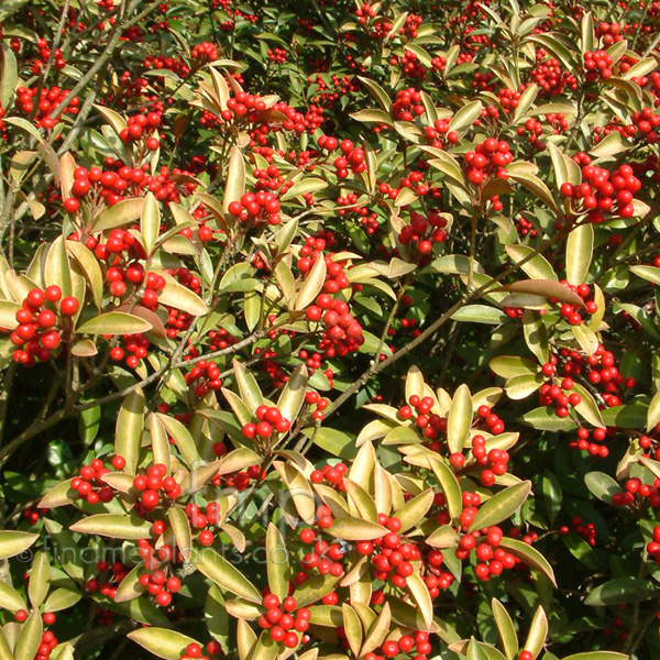 Big Photo of Skimmia Japonica