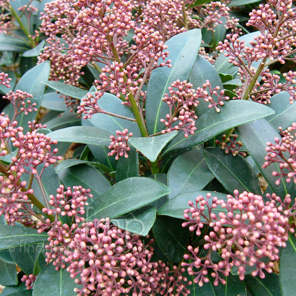 skimmia japonica 39 rubella 39 skimmia information pictures cultivation tips. Black Bedroom Furniture Sets. Home Design Ideas